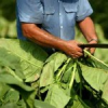 Machine made cigars export is growing