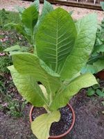 Bottom tobacco leaves ready to pick